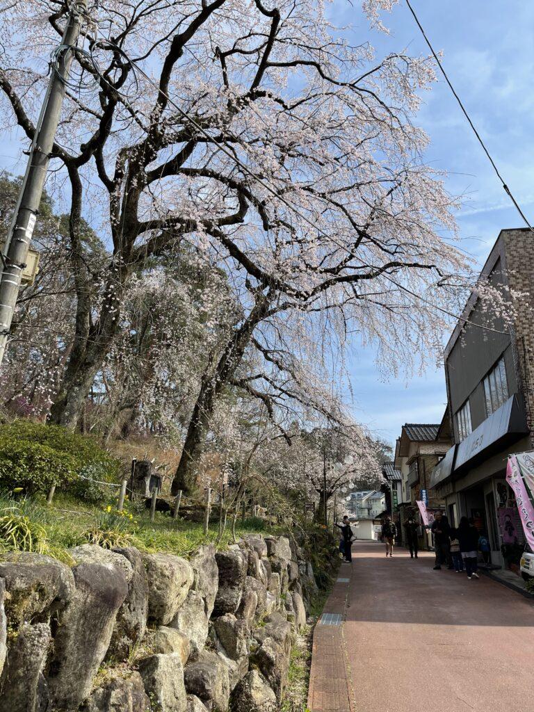 飯田市天龍峡 桜